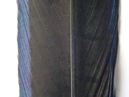 plume de faisan noir
